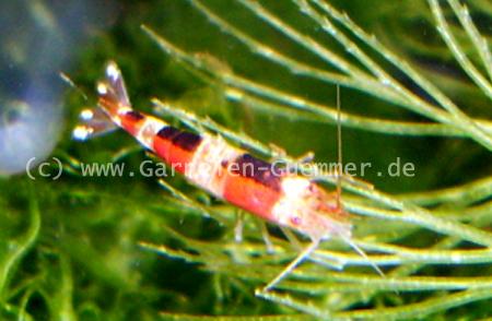 Garnelenkreuzung Crystal Red Garnele mit Bienen Garnele