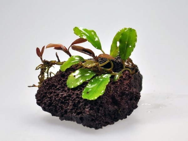 Bucephalandra motleyana sp. Green Pepper