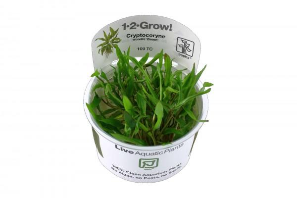 Cryptocoryne wendtii 'Green' 1-2-Grow! in Vitro