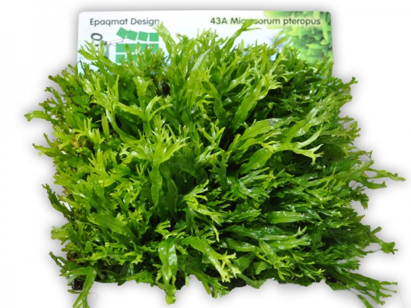 "Pflanzenmatte Microsorum pteropus ""crisped leaves"" / Javafarn ""Windeløv"" 16,5 x"
