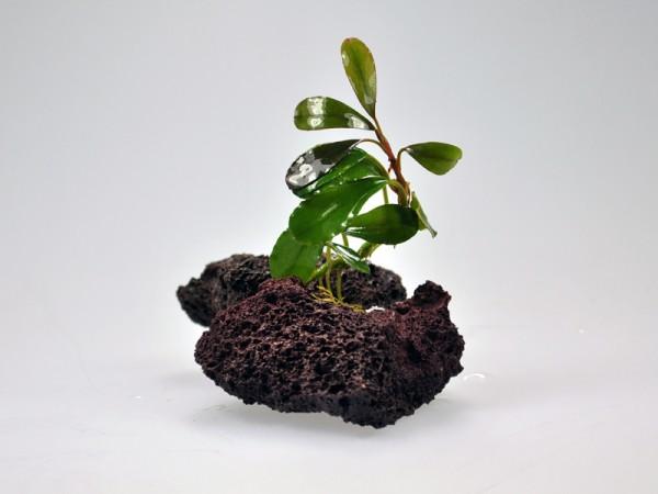 Bucephalandra motleyana sp. Helena Round Leaf