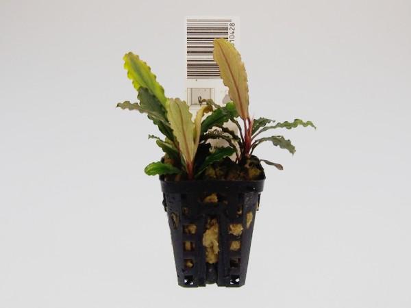 Bucephalandra motleyana Deep purple, Topfpflanze