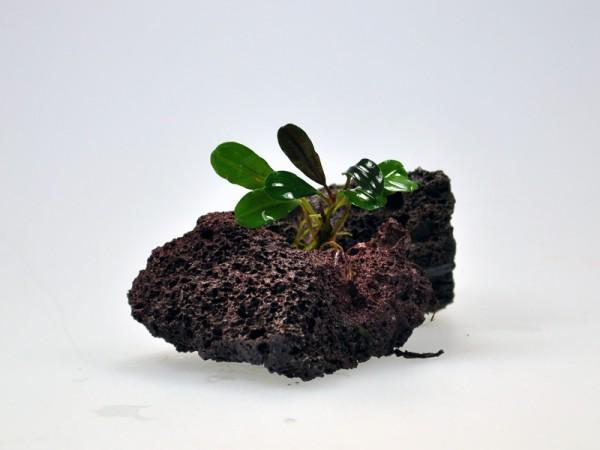 Bucephalandra motleyana sp. Brownie Athena V2