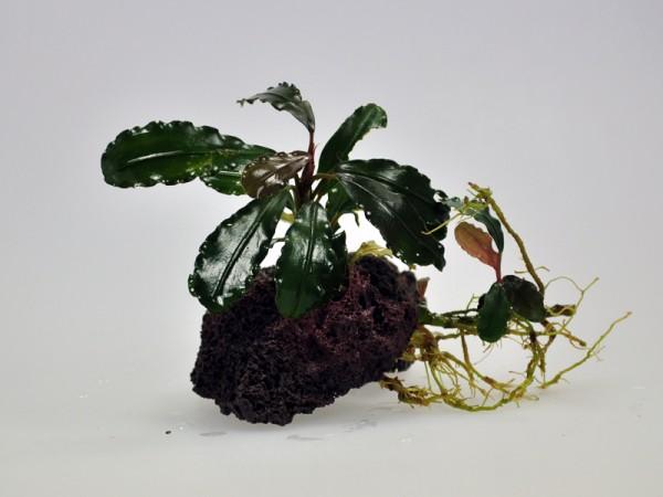 Bucephalandra motleyana sp. Sei Merah