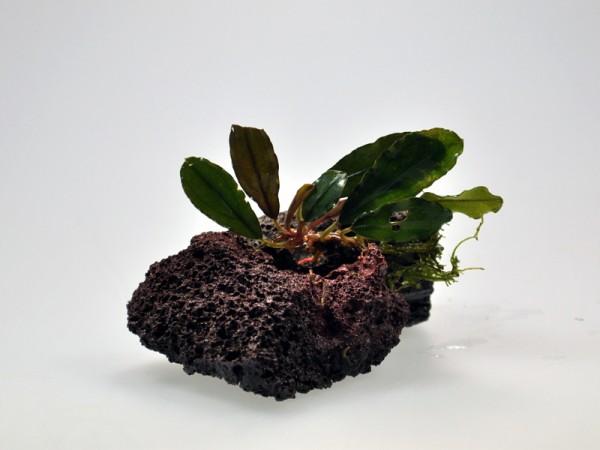 Bucephalandra motleyana sp. Brownie Jade
