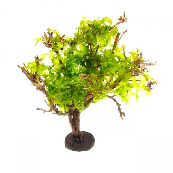 Nano Deko Baum Bonsai S Garnelenbaum mit Pellia Moos