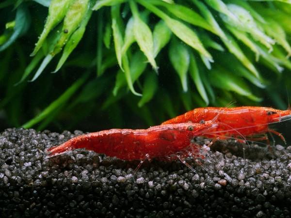 Red-Fire-Sakura3