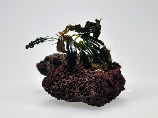 Bucephalandra motleyana sp. Brownie Cake
