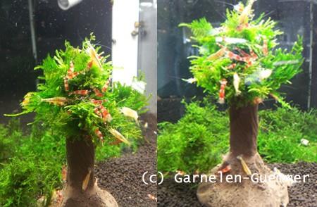 Garnelenstamm schwarz-braun 10cm mit Moos oben
