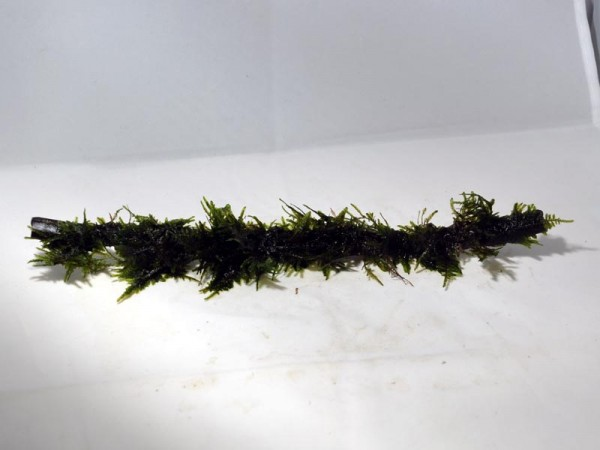 Moorkienast mit Moos 20cm