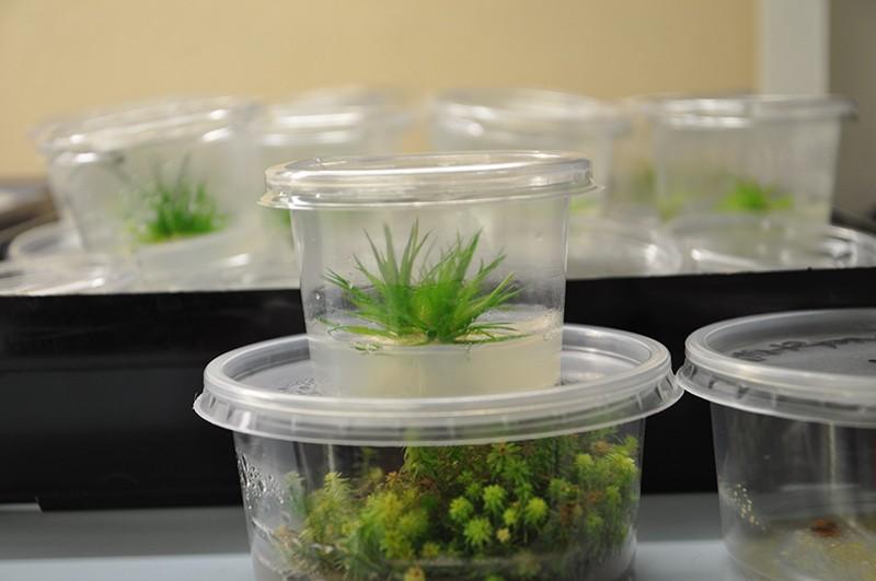 in-vitro-Pflanze