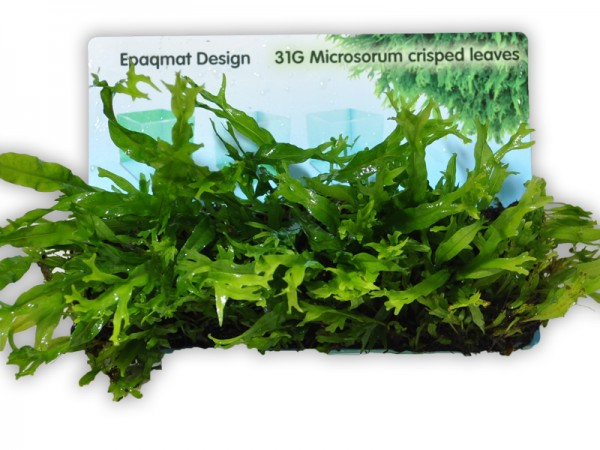 "Pflanzenmatte Microsorum pteropus ""crisped leaves"" / Javafarn ""Windeløv"" 4 x 13"