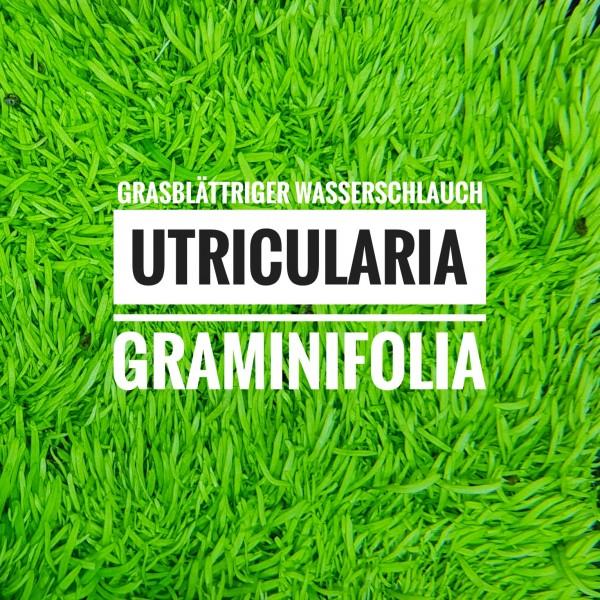 utricularia_featured