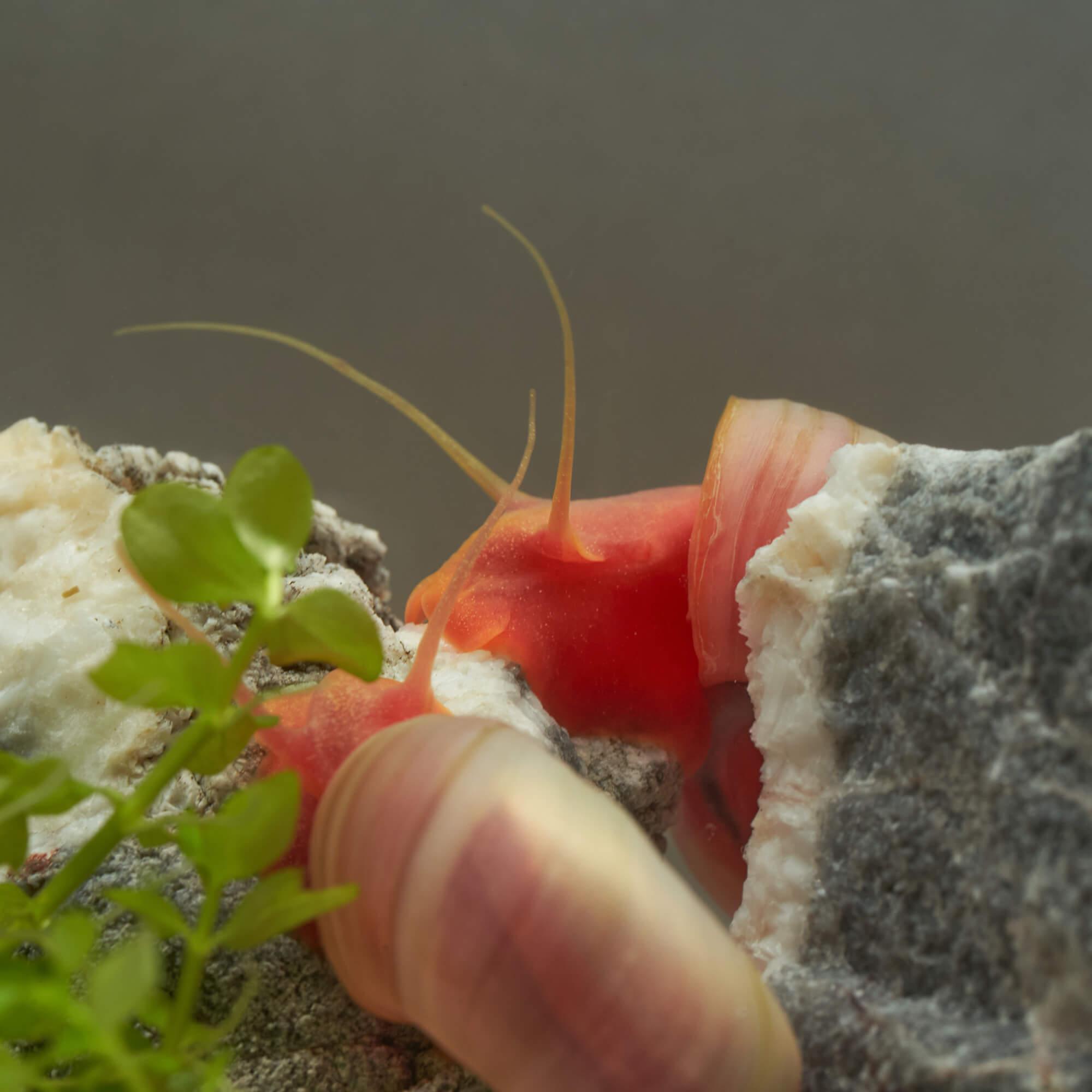 Rosa Posthornschnecke im Aquarium