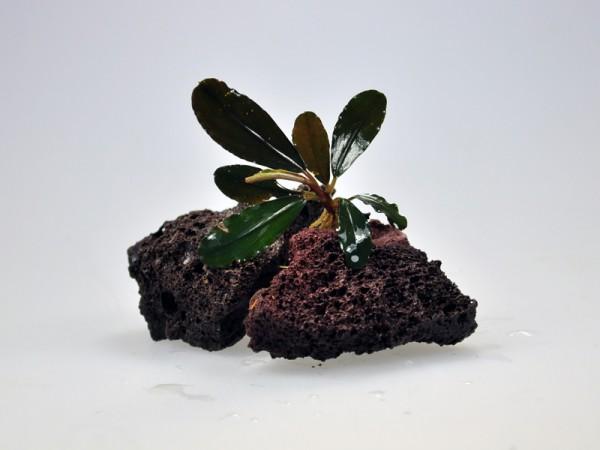 Bucephalandra motleyana sp. Brownie Violet
