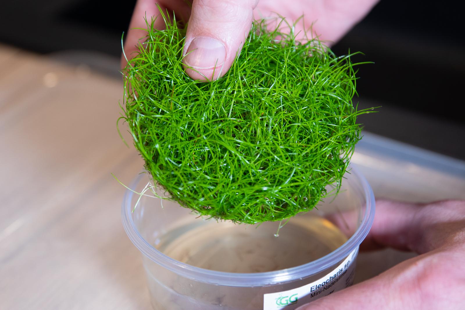 Bodendecker aus dem in vitro cup entnehmen