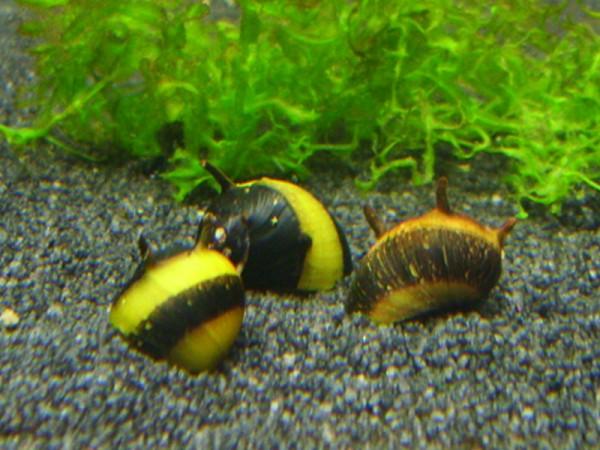 Geweihschnecke-gold-schwarz