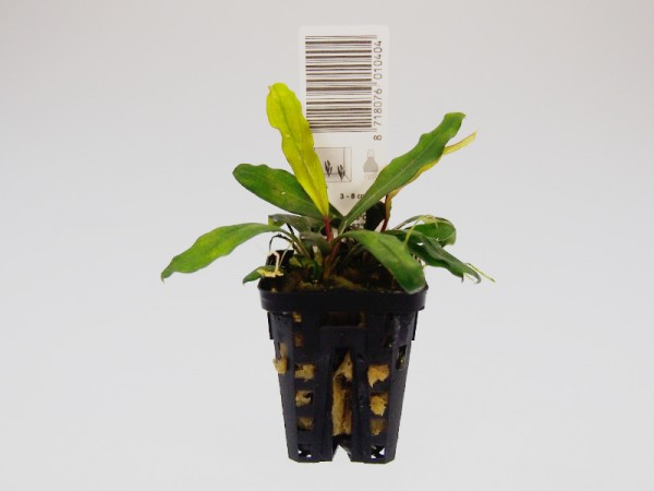 Bucephalandra motleyana Badanka, Topfpflanze