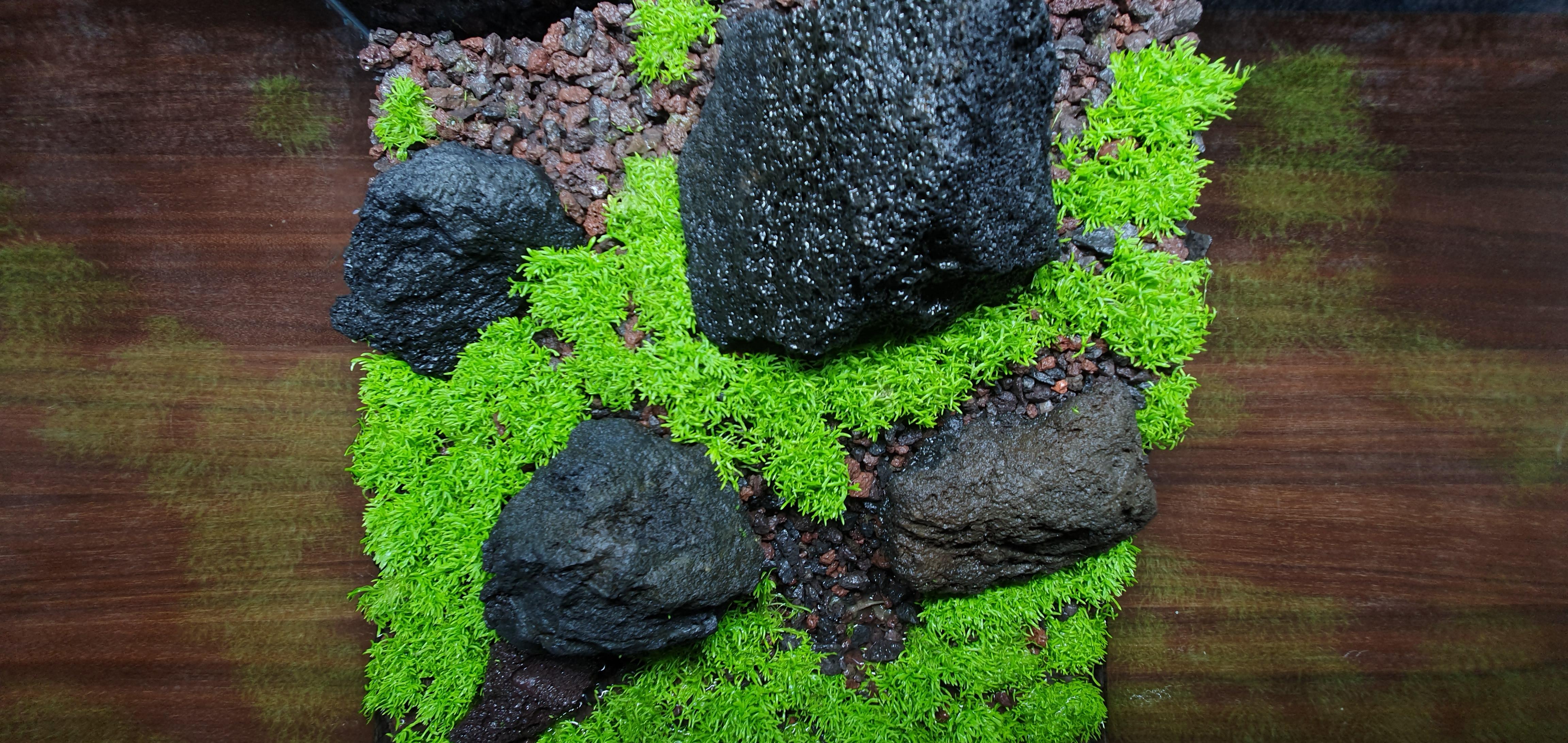 Utricularia Graminifolia im Dry Start
