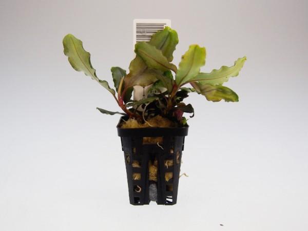 Bucephalandra motleyana Next Maximus, Topfpflanze