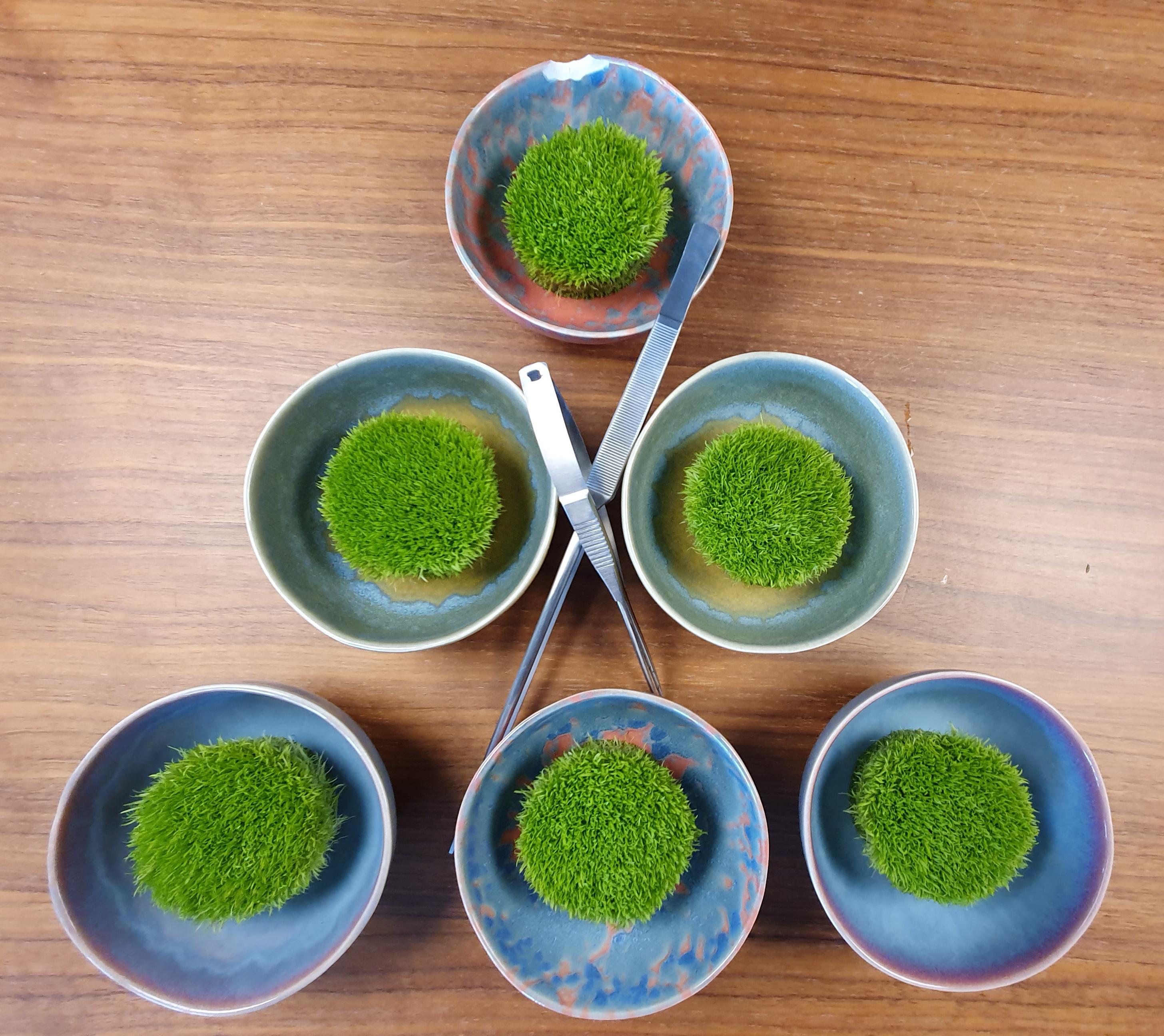 Utricularia frisch aus dem in Vitro Topf