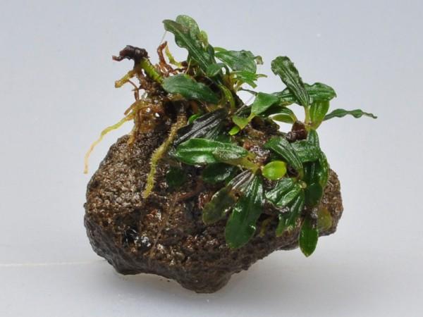 Bucephalandra motleyana sp. Belindae